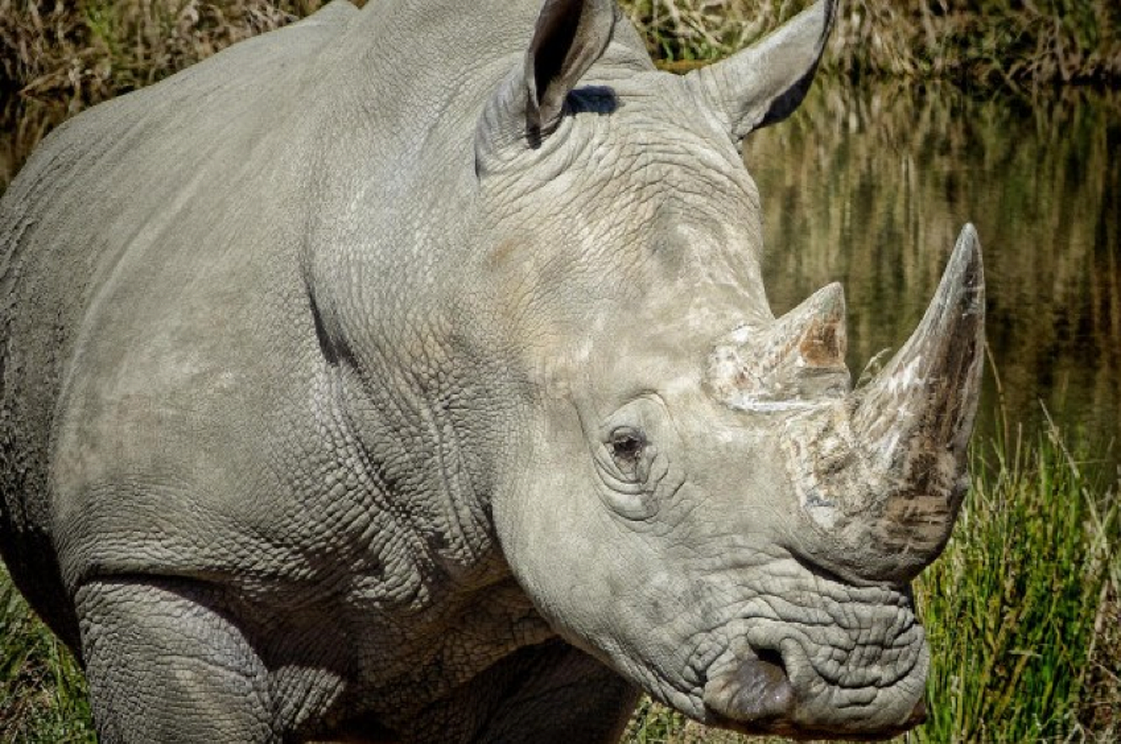 Photo by Mary Harrsch; Southern White Rhinocerous at Wildlife Safari near Winston Oregon